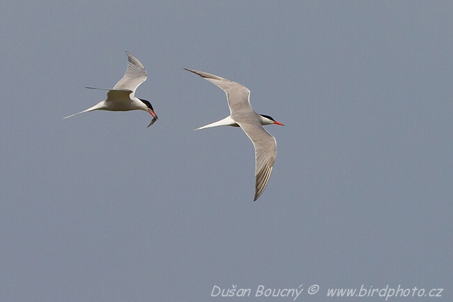 Gulls and Allies - Common Tern (Sterna hirundo)