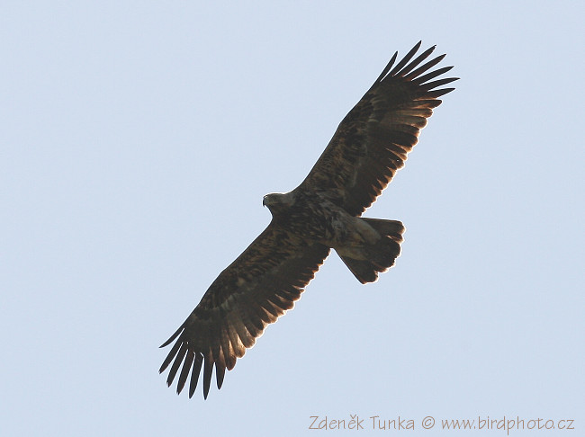 Birds of Prey - Imperial Eagle (Aquila heliaca)