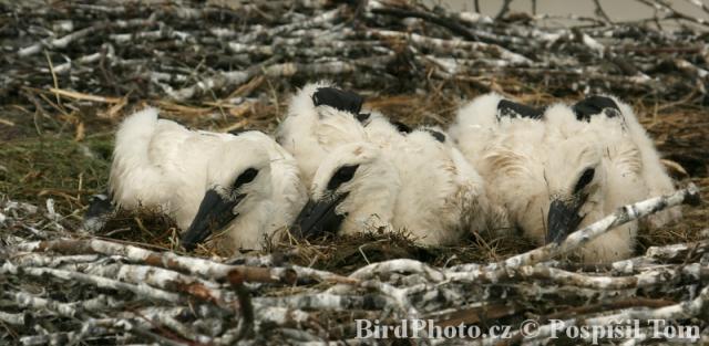 Článek sledujte hnízdění čápů bílých