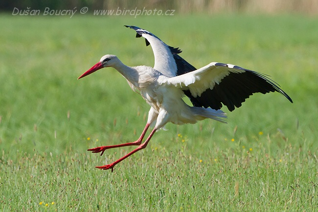 Foto:Dušan Boucný, birdphoto.cz