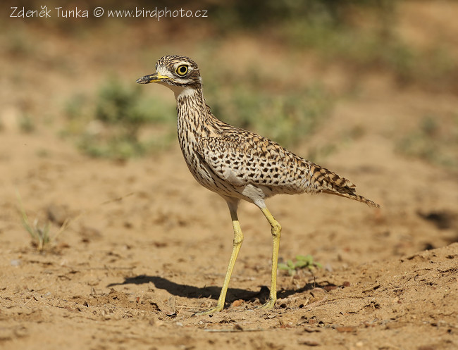 Waders - Spotted Thick-knee (Burhinus capensis)