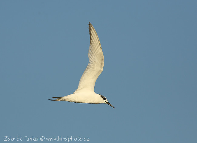 Gulls and Allies - Sandwich Tern  (Sterna sandvicensis)